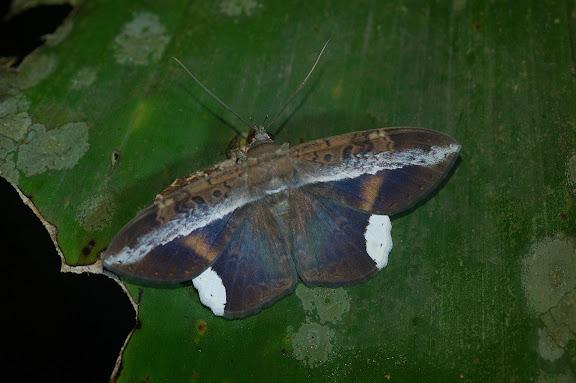 Noctuidae : Ophiderinae : Hemeroblemma saundersi GUENÉE,1852, mâle. Explorer's Inn, Tambopata (Madre de Dios, Pérou), 31 décembre 2010. Photo : Meena