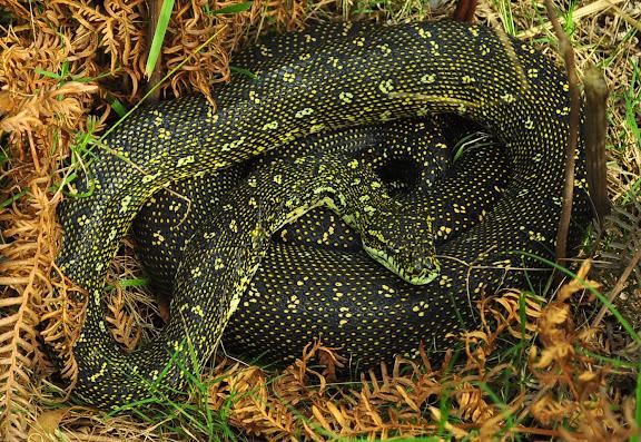 Python diamantin (Morelia spilota spilota) dans le jardin d'Umina Beach, 27 mars 2011. Photo : Barbara Kedzierski