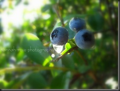 Blueberries 2010 139