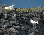 A couple young Dall sheep heading down the side of the plateau in the Wrangells.