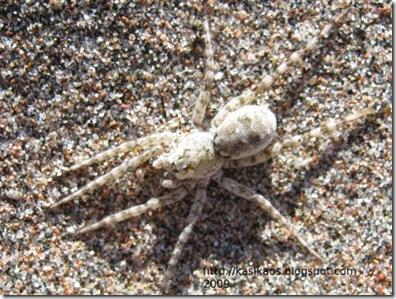 sand_spider