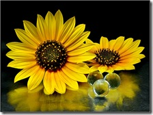 صوره لنبات دوار الشمس
