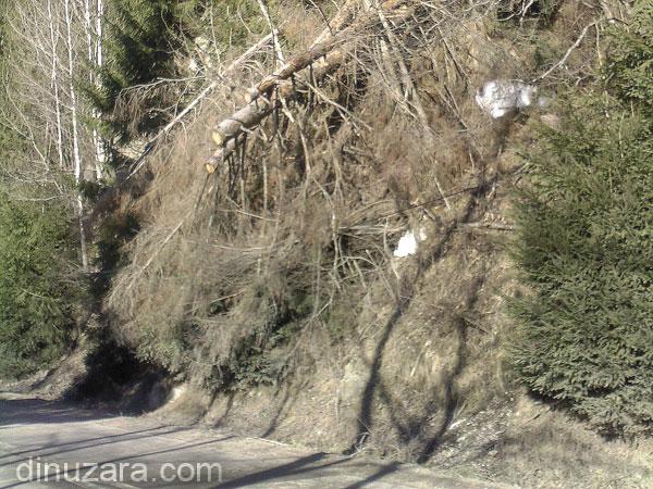 Copaci în pericol să cadă pe drum, în apropiere de Crucea, judeţul Suceava