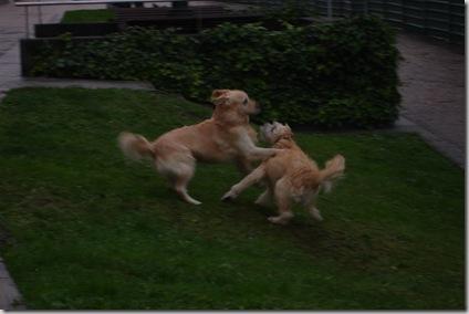 Lucha canina
