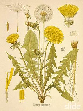 Medicinal Uses Of Dandelions Cover