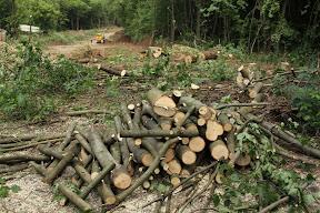 свеже спиленные деревья. их вывозят, заметая следы.