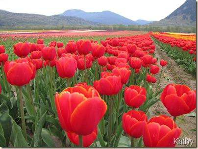 Tulip Festival 029