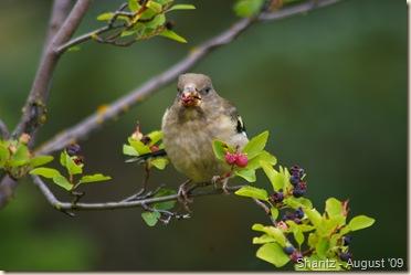 Evening Grosbeak w berry