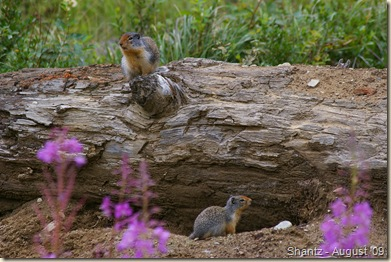 Ground Squirrel family