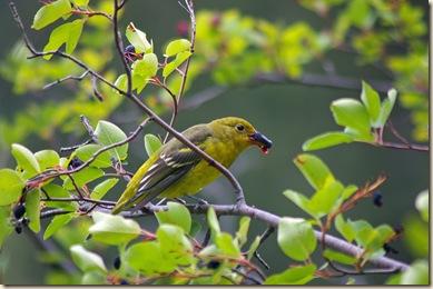Western Tanager female - eating Saskatoon Berries