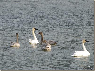 Swans 022