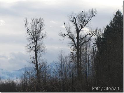 Eagle Trees