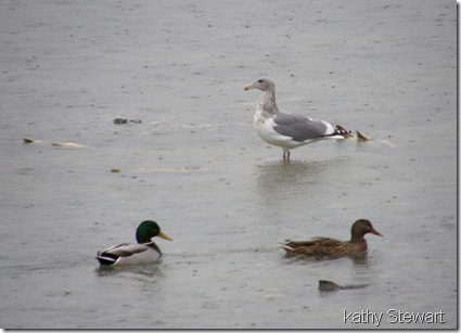 Herring Gull and Mallards