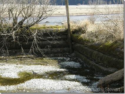 Mallard in log bay