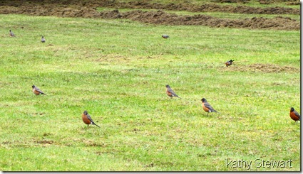 Robins on the lawn