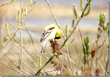 Goldfinch on Hardhack
