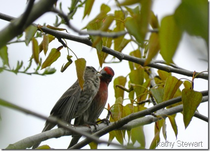 Courting House Finch