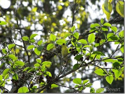 Goldfinch in alder tree