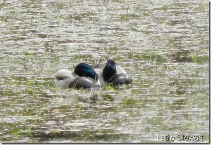 Pair of sleepy Mallard drakes