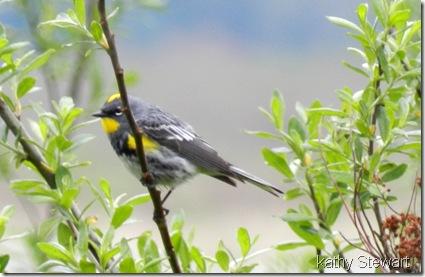 Male Yellow Rump Warbler