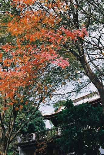 楓葉..林家花園