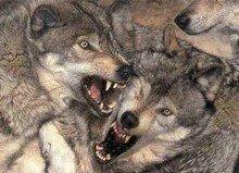 Scioli atacado x lobos (jueves 28 de mayo)