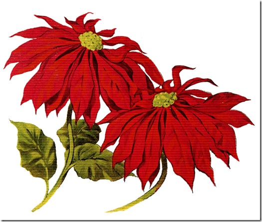 christmas-clipart-pointsettias-graphicsfairy010b