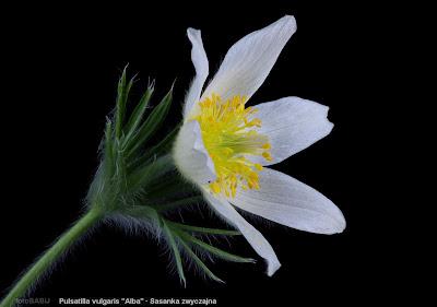 Pulsatilla vulgaris 'Alba' flower -  Sasanka zwyczajna biała kwia