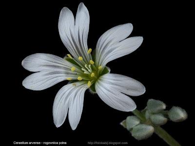 Cerastium arvense flower - Rogownica polna kwiat