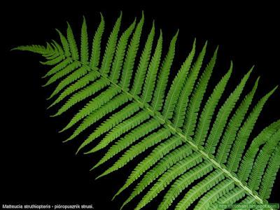 Matteucia struthiopteris leaf - Pióropusznik strusi liść