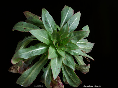 Oenothera biennis - Wiesiołek dwuletni
