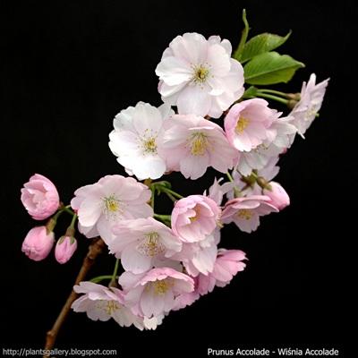 Prunus Accolade inflorescence - Wiśnia Accolade kwiatostan