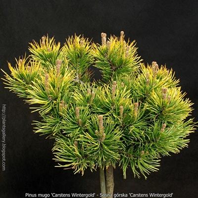 Pinus mugo 'Carstens Wintergold' - Sosna górska 'Carstens Wintergold'