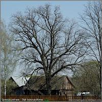 Quercus petraea - Dąb bezszypułkowy pokrój w stanie bezlistnym