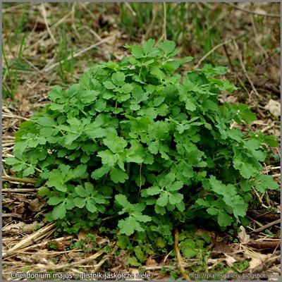 Chelidonium majus habit - Glistnik jaskółcze ziele pokrój