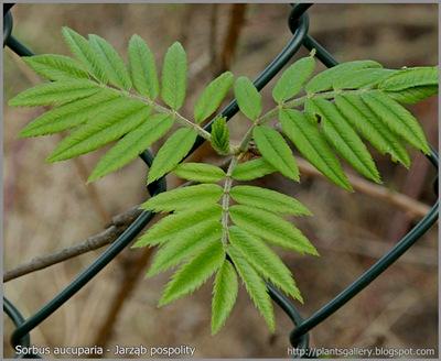 Sorbus aucuparia - Jarząb pospolity liście