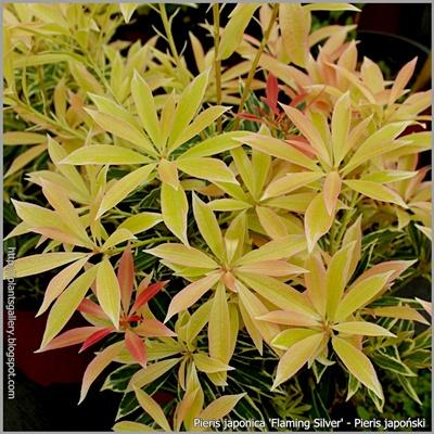 Pieris japonica 'Flaming Silver' - Pieris japoński młode przyrosty