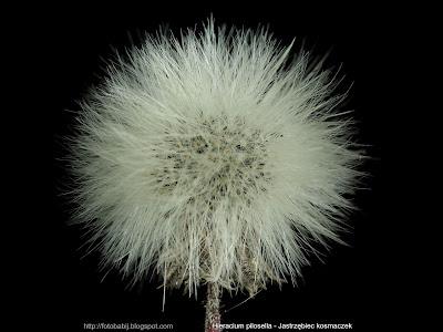 Hieracium pilosella - Jastrzębiec kosmaczek