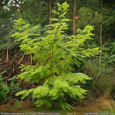 Robinia pseudoacacia 'Frisia' - Robinia akacjowa 'Frisia'
