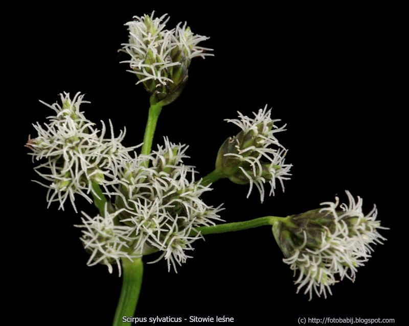 Scirpus sylvaticus - sitowie leśne kwiaty