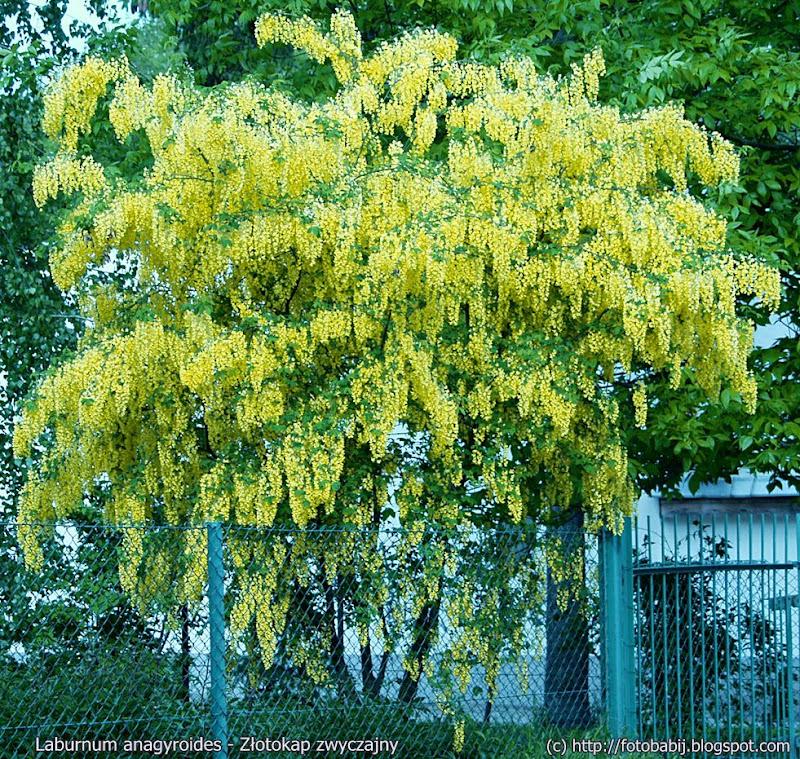 Laburnum anagyroides habit - Złotokap zwyczajny pokrój