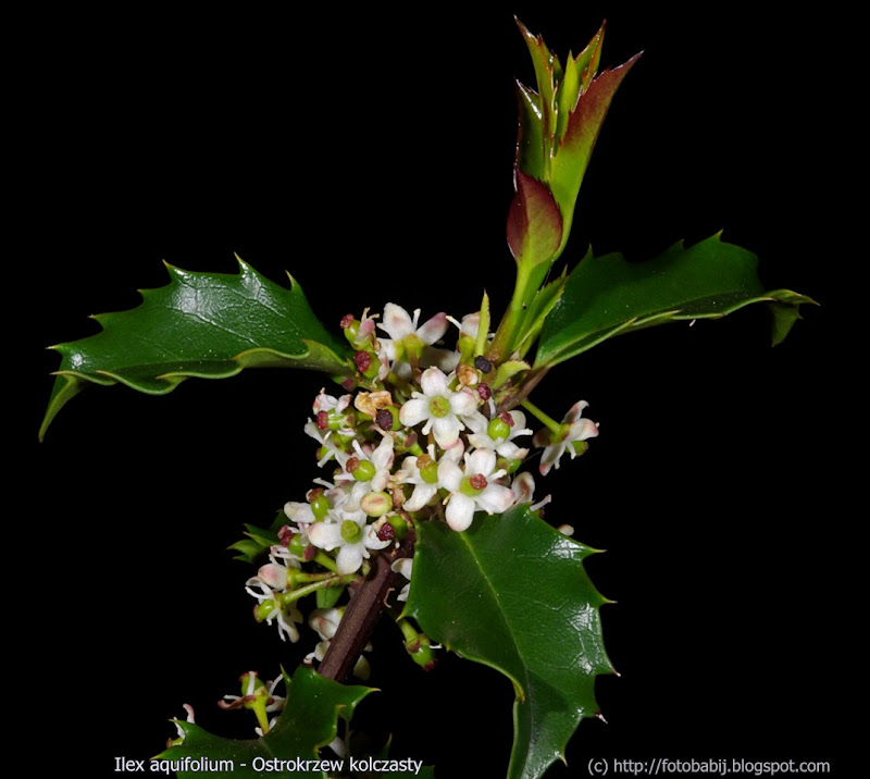Ilex aquifolium inflorescsnce  - Ostrokrzew kolczasty kwiatostan