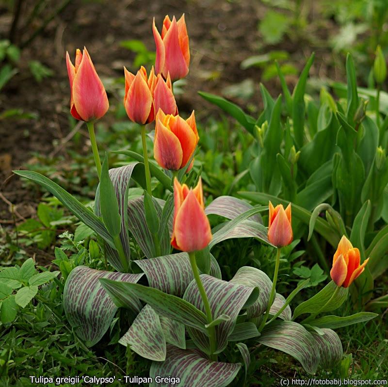 Tulipa greigii 'Calypso' habit - Tulipan Greiga pokrój