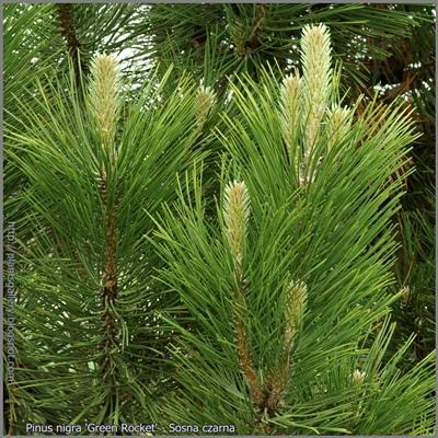 Pinus nigra 'Green Rocket' - Sosna czarna 'Green Rocket'