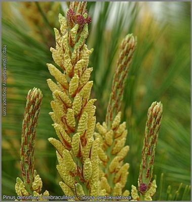 Pinus densiflora 'Umbraculifera' - Sosna gęstokwiatowa 'Umbraculifera'