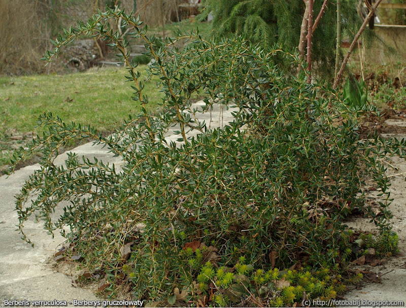 Berberis verruculosa habit - Berberys gruczołowaty pokrój