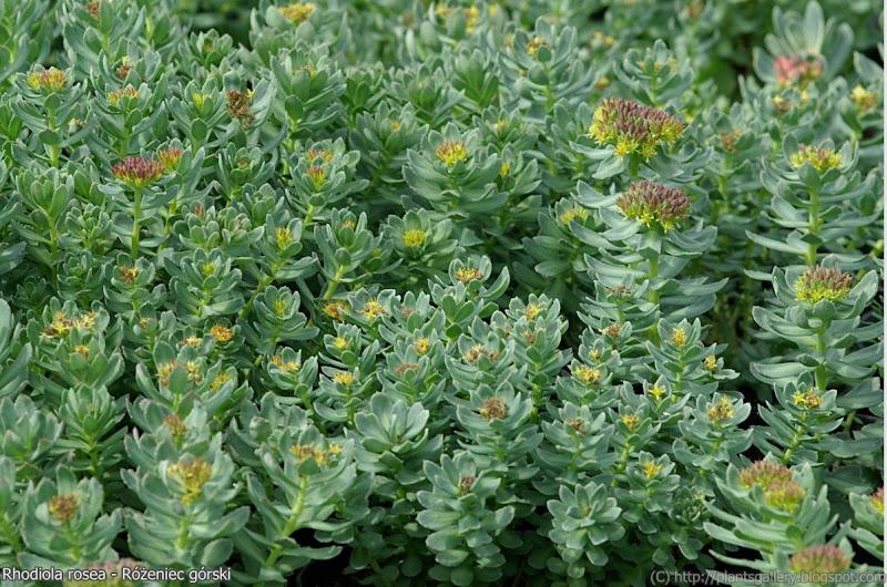 Rhodiola rosea habit - Różeniec górski pokrój