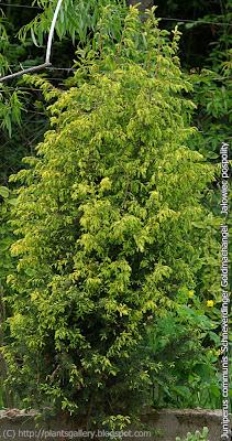 Juniperus communis 'Schneverdinger Goldmachangel' - Jałowiec pospolity 'Schneverdinger Goldmachangel'