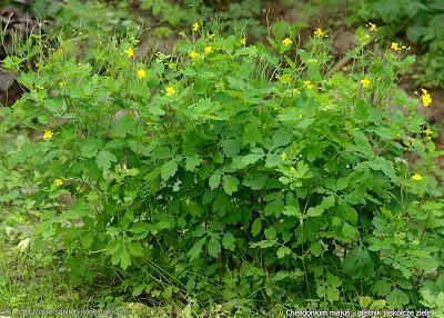 Chelidonium majus - Glistnik jaskółcze ziele
