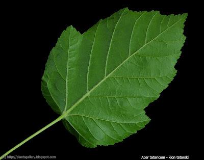 Acer tataricum leaf - Klon tatarski iść